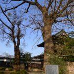 高島城のキハダ